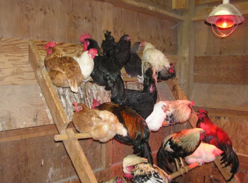 best Chicken Roosting Ideas